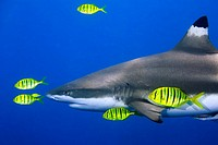 Blacktip Reef Shark with Pilotfish