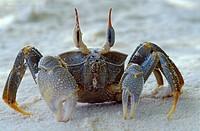 Cangrejo fantasma  Ghost crab  Ocypode ceratophthalma  Petit Anse, Mahe, Seychelles