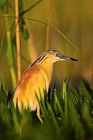Squacco Heron Ardeola ralloides in the Danube Delta Europe, Eastern Europe, Romania, 2006