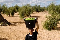 Harvesting olives, Badajoz province, Extremadura, Spain