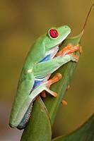 Red-eyed Leaf Frog, Agalychnis callidryas, Central America