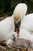 Höckerschwan / Mute Swan / Cygnus olor