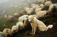 France, Pyrenees mounts, Pyrenees-Atlantic department, Aspe valley, herd with their shepherd dog a Great Pyrenees.