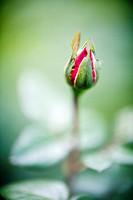 Rose bud, Seville, Spain, rose, plant, flower, bud, new
