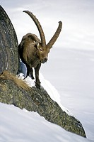 Alpine ibex Capra ibex feeding in rock face in winter, Gran Paradiso NP, Italy
