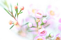 Charming Pink Wax Flower on White