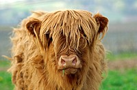 Calf, red-brown Highland Cattle, Kyloe