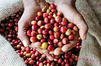 fresh red coffee berries in a palm, Jimma, Kaffa Region, Oromiya, Ethiopia, Africa