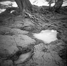 Frozen Puddle Near Tree With Snakelike Roots