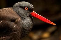 Black Oystercatcher American Water Bird Black Feathers Red Beak Haematopodidae Bachmani  American Bird