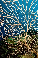 Sea fan, gorgonia,Coral reef, Playa Girón, Cuba