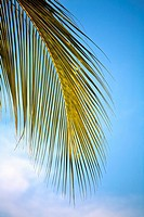 Palm Leaf and blue sky, Caribbean