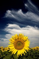 Sunflower in a cloudy day