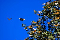 Migrating Monarch butterflies Danaus plexippus on milkweed in Pacific Grove, California  The monarchs migrate from the Canadian rockies through Califo...