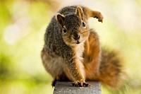 Fox tree squirrel Sciurus niger  Order: Rodentia Family: Sciuridae Subfamily: Sciurinae Genus: Sciurus Subgenus: Sciurus