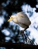 Portrait of a snowy egret Egretta thula chick looking for its nest and waiting to be rescued by its parent  The artificial estuaries and lagoons in th...