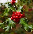 Holly tree at the Botanical Garden. Madrid. Spain