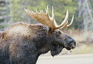 Close-up portrait of a bull moose with antlers in Grand Teton National Park, Wyoming