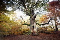 Oak Tree Quercus robur, ancient tree in autumn, Sababurg Ancient Forest NP, N  Hessen, Germany