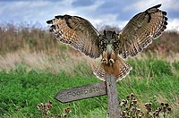 Eagle owl Bubo bubo landing with wings spread on perch in meadow, England, UK