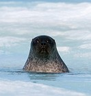 Ringed seal pup about 2 months old  The young seals are born in cavities/dens hidden under the snow on the sea ice  These young pups are the polar bea...