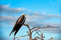 Magnificent Frigatebird. North Seymour Island. Galapagos Islands. Ecuador