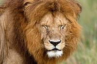 Lion Panthera leo, Masai Mara National Reserve, Kenya
