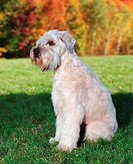 Wheaton Terrier: breed of dog