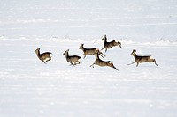Roe deer, Capreolus capreolus, herd in flight, in winter, Harz mountains, Lower Saxony, Germany