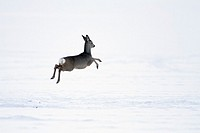 Roe deer, Capreolus capreolus, in winter, Harz mountains, Lower Saxony, Germany