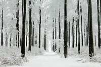 Beech woodland, Fagus sylvatica, covered in snow, winter, North Hessen, Germany