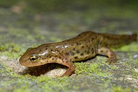 Iberian newt (Lissotriton boscai) in a Buçaco wood, Portugal
