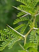 Sweet thorn Acacia karroo