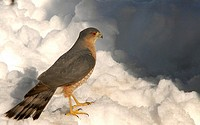 A sharp-shinned hawk, accipter striatus, pauses on snow after failing to capture prey, Pennsylvania, USA