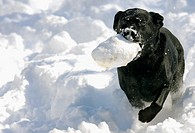 A black labrador retriever runs through the snow with her favorite toy, Pennsylvania, USA