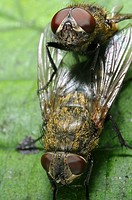 Cluster flies mating showing the structure of their compound eyes