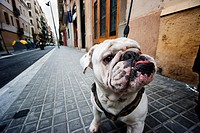 Close up of white bulldog