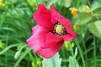 A single bright pink annual Poppy.
