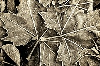 dead leaves in autumn in black and white