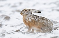 European brown hare in winter, Germany