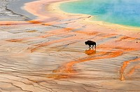 American bison Bison bison Walking near Grand Prismatic Spring outflow