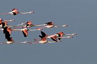 Greater Flamingo (Phoenicopterus roseus), Camargue, France