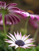 Benllech, Anglesey, Wales, UK  OSTEOSPERMUM - ´SILVIA´ differentially focused on newly opened pink and white flower with older flowers above