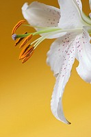 Casa Blanca Lily against yellow background
