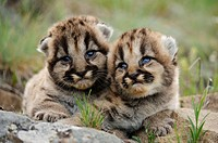 Mountain lion Felis concolor kittens