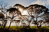 Eucalyptus trees, Pinnaroo, South Australia, Australia
