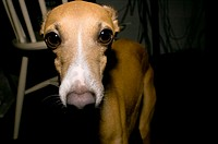 An Italian Greyhound looks right at the camera