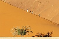 Namibia - Tourists at a sand dune with Camelthorn tree Acacia erioloba in the Namib Desert  Namib-Naukluft Park, Namibia