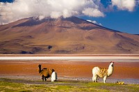 Bolivia, Southern Altiplano, Laguna Colorada  Llamas near the Laguna Coloroda otherwise know as the coloured lake
