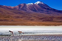 Bolivia, Southern Altiplano, Uyuni Highlands  Flamingoes upon a mineral coloured lake in the Bolivian Highlands